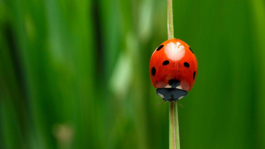 Ladybug Treatment