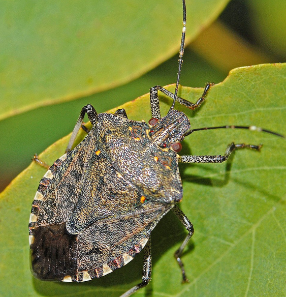Stinky Bug
